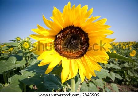 sunflower on a sunny summer day - stock photo