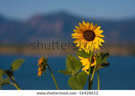 Sunflower on Rocky Mountain Backdrop
