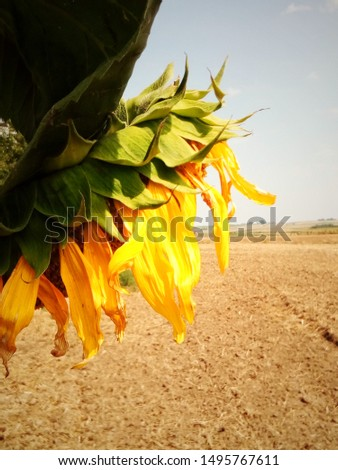 sunflower on the background of arable land #1495767611