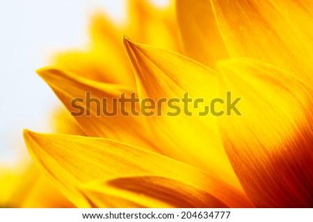 Sunflower petals macro close-up detail  and texture #204634777