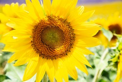 Sunflower Photography, Bright Summer Yellow Sunflower, Yellow Flower Sun Flower in Field, Close Up Detail Summer Field of Sunflowers Bright Happy Summer Good Vibes Yellow Floral Fauna
