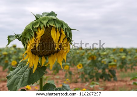 Sunflower plant in the fall wilting