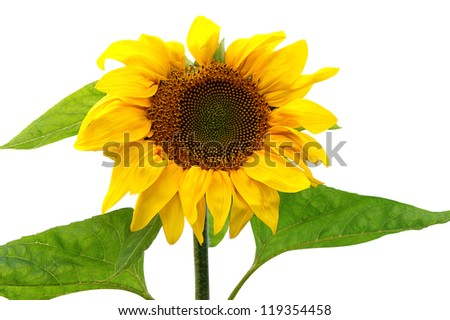 Sunflower plant on white background isolated