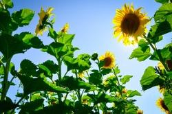 Sunflower plants in a blue sky