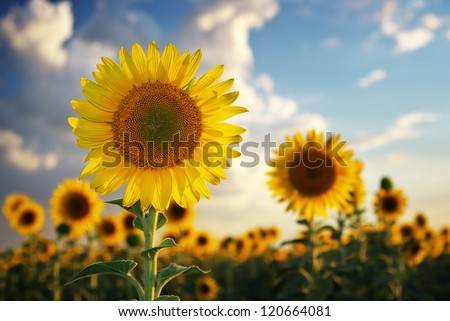 Sunflower portrait. Composition of nature.