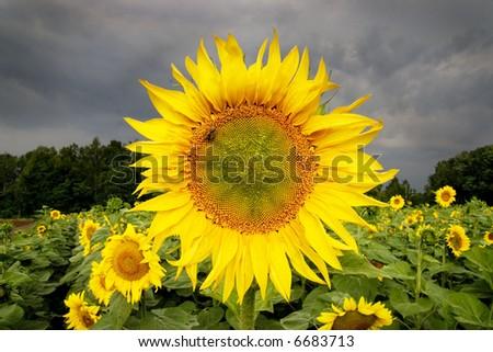 sunflower's field