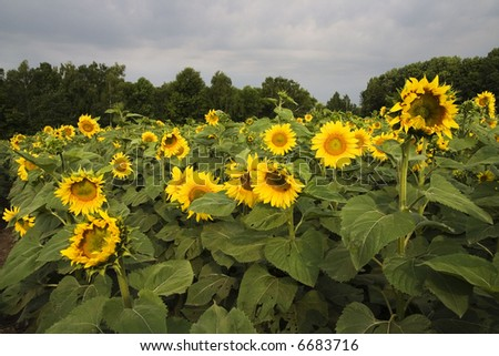 sunflower's field