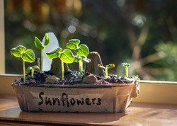 Sunflower seedling grown in a recycled egg box on sunny window ledge, fun way to reuse, recycle and grow your own.