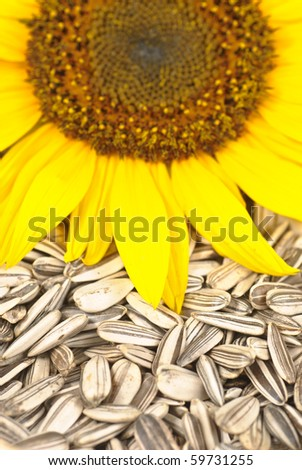 Sunflower seeds close up with blossom and crop. Selective focus.