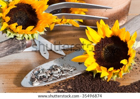 Sunflower seeds on rustic trowel with sunflower blooms