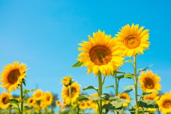 Sunflower seeds. Sunflower field, growing sunflower oil beautiful landscape of yellow flowers of sunflowers against the blue sky, copy space Agriculture
