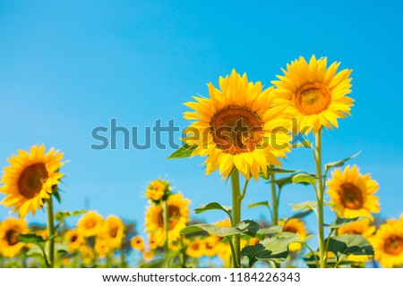 Sunflower seeds. Sunflower field, growing sunflower oil beautiful landscape of yellow flowers of sunflowers against the blue sky, copy space Agriculture #1184226343