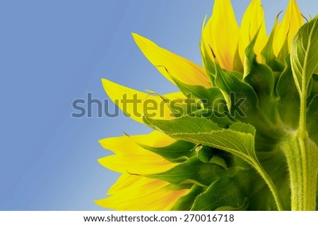 Sunflower, Sun, Single Flower.