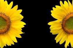sunflower, sunflowers on Black Background,