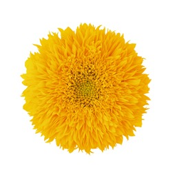 Sunflower Teddy Bear isolated on a white. Full depth of field.