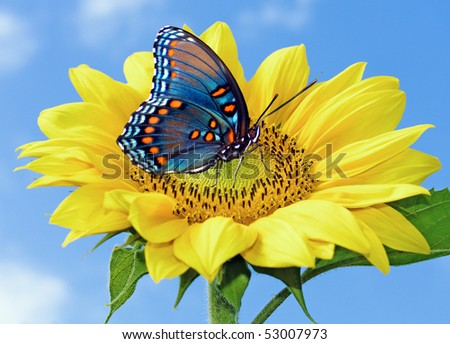 Sunflower with blue butterfly
