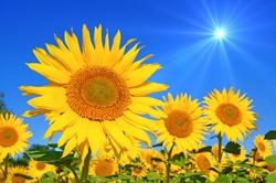 sunflower with blue sky and beautiful sun / sunflower