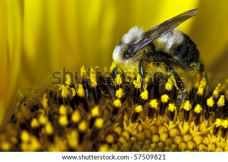 sunflower with bumble bee - stock photo