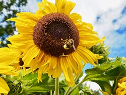 Sunflower with bumblebee on flower