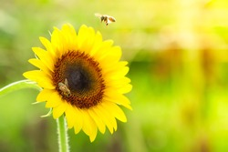 sunflower with busy bee