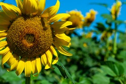sunflower with busy bee in the field of sunflowers