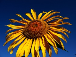 sunflower with deep blue sky in background