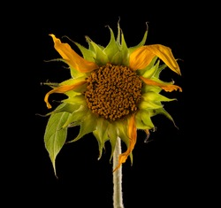 Sunflower with few faded withered petals isolated on black background.