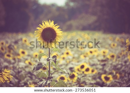 sunflower with filter effect...