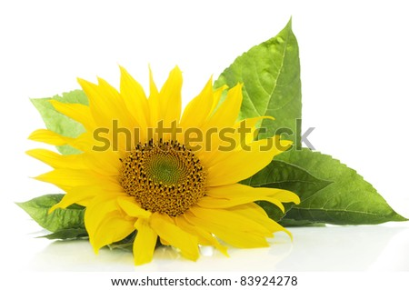 Sunflower with green leaves isolated on white background with copy space