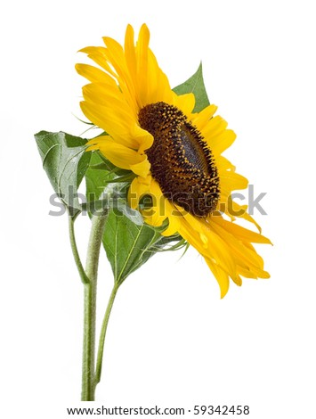 sunflower with green leaves. Isolated over white background