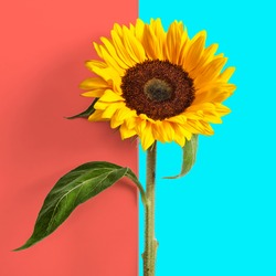 Sunflower with leaves and stem on abstract double coral blue color background. Spring summer flowers minimal concept
