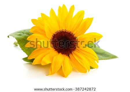 Sunflower  with leaves isolated on white background.  - Shutterstock ID 387242872
