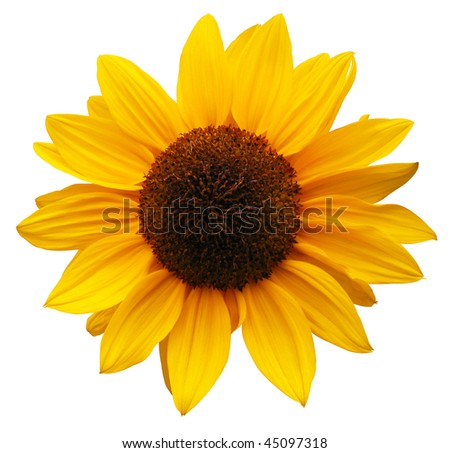 sunflower with path
