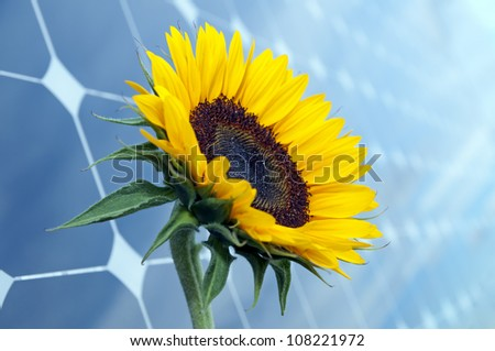 Sunflower with solar panels in the background