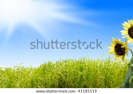 sunflower with sun, sky and green grass in the background