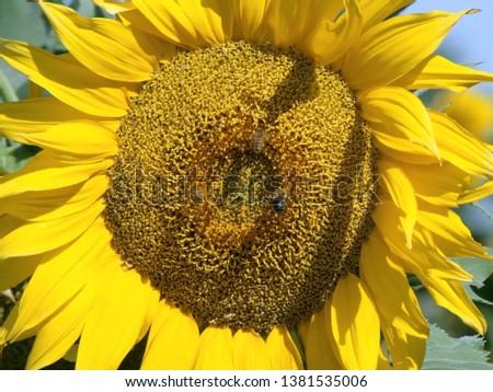 sunflower, yellow sunflower, sunflower bees #1381535006