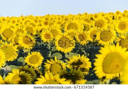 sunflowers #671314387