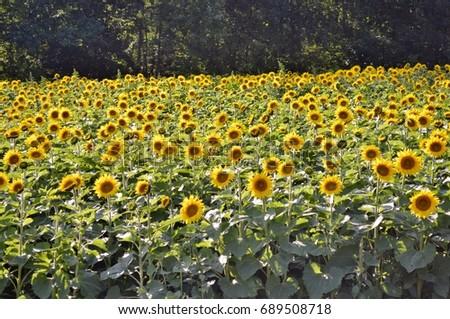 Sunflowers   #689508718