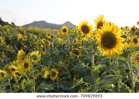 sunflowers #709829893