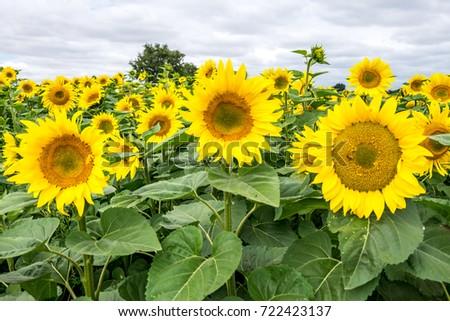 Sunflowers #722423137