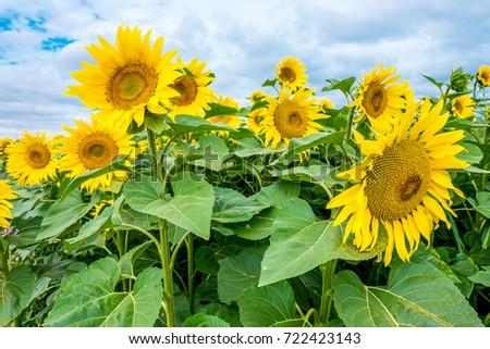 Sunflowers  #722423143