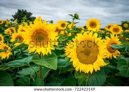 Sunflowers #722423149