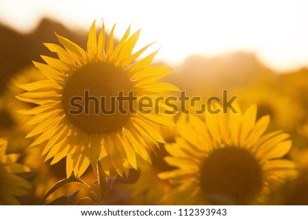sunflowers against the sun