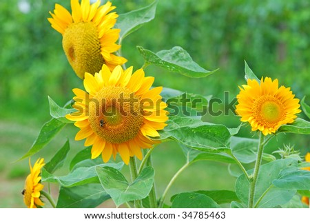 sunflowers against the wind