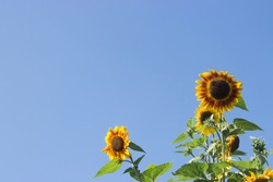 sunflowers aligned to the right with blue sky in the background