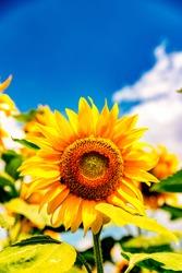 Sunflowers and beautiful sunflower fields from Bulgaria