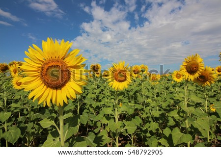 sunflowers and blue sky , Thailand
