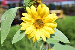 Sunflowers are annuals of the Asterales tribe which are popular, both as an ornamental plant and an oil-producing plant.