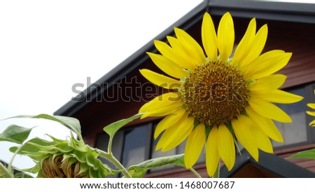 Sunflowers are blooming in the garden, sunflowers grown as a crop for its edible oil and edible fruits, also used as wild bird food.