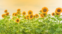 Sunflowers are blooming in the garden, the natural beauty of the season.